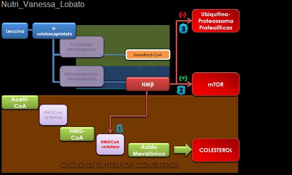 Ciclo-HMB-Nutri_Vanessa_Lobato HMB – Beta-Hidroxi-Beta-metil-butirato